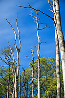 Dead and dying trees at Balckwater National Wildlife Refuge, Camdridge, Maryland.