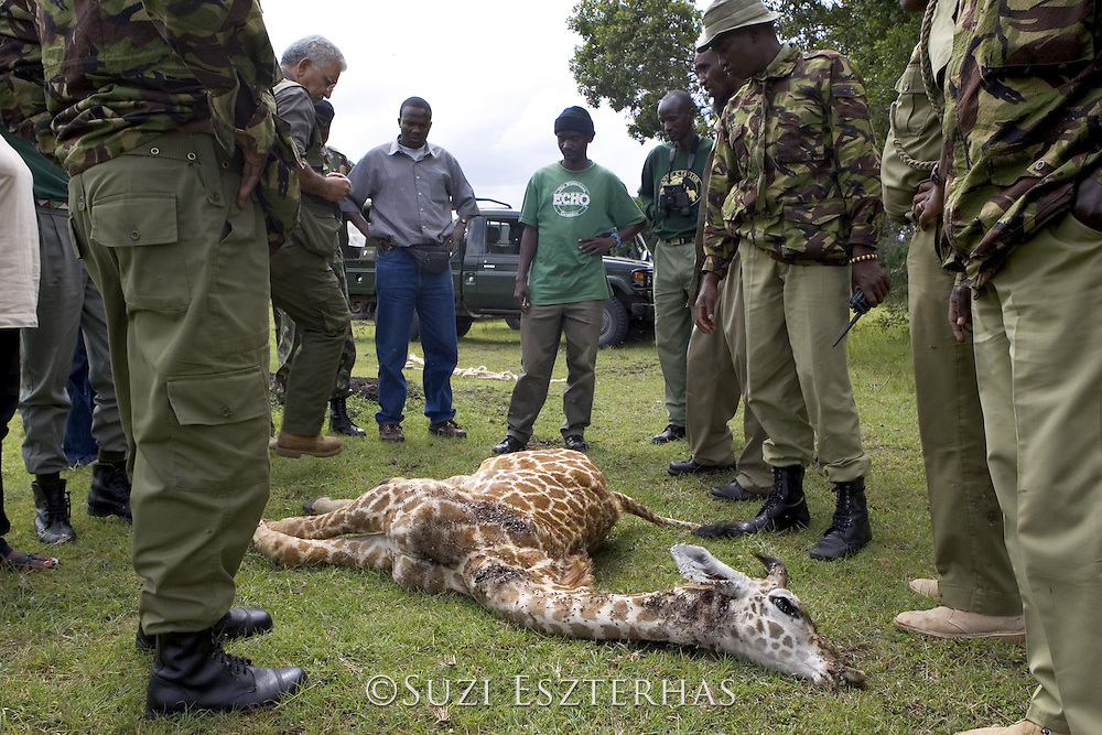 Giraffe<br /> Giraffa camelopardalis<br /> Park authorities and community scouts examine 3 week old calf killed by poachers<br /> Maasai Mara Reserve, Kenya<br /> *No model release available- for editorial use only