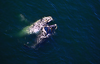 Southern Right Whales, Eubalaena australis  South Africa, mating