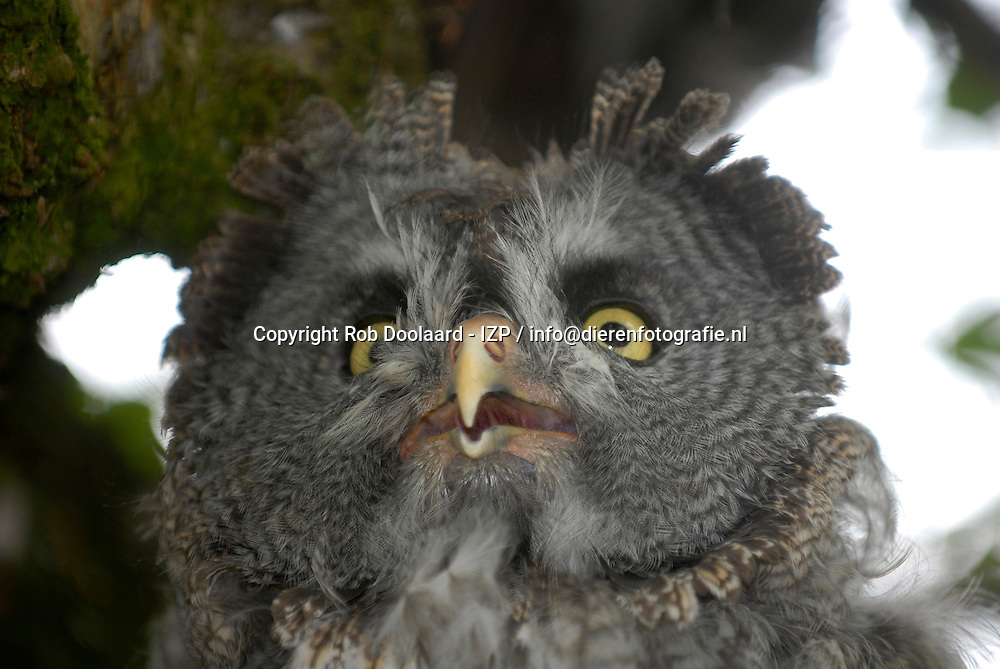 Laplanduil - Strix nebulosa / Great Grey Owl or Lapland Owl   / Bartkauz