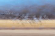 Sandhill Cranes, Grus canadensis, Socorro County, New Mexico