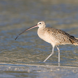 A long-billed curlew, numenius americanus, on North Beach at Fort De Soto Park in Pinellas County, Florida.