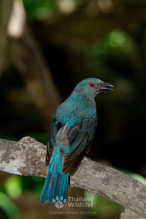 Female Asian Fairy Bluebird