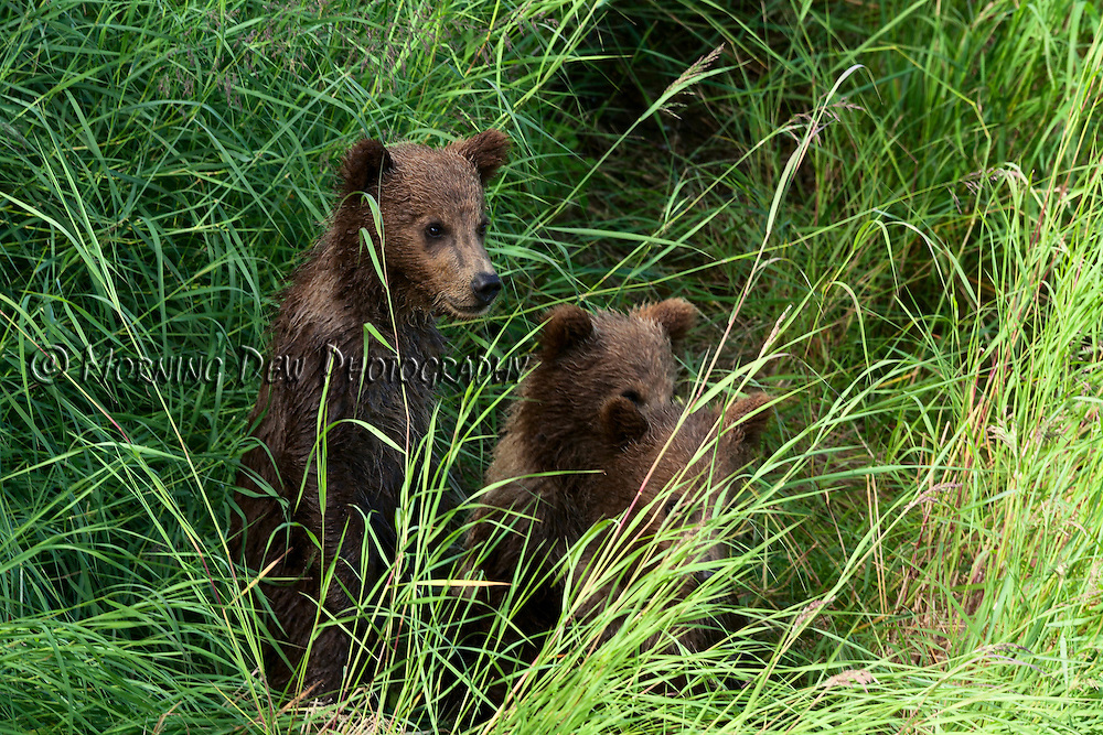 Three spring cubs hide in the tall grass on the shore of Brooks River, Katmai National Park, Alaska