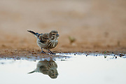 Common Linnet (Carduelis cannabina) near a puddle of water in the desert, negev, israel
