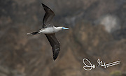 A Red-footed booby in flight at Punta Pitt, San Cristobal island, Galapagos archipelago of Ecuador.