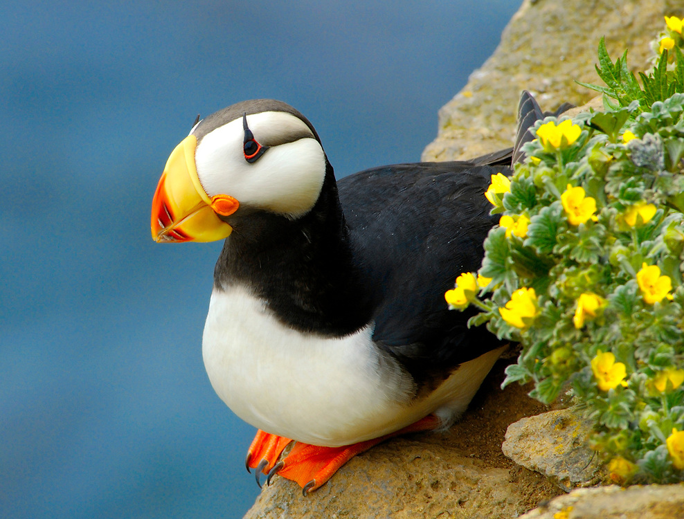 Horned Puffin (Fratercula corniculata) is a common species at seabird colonies of the North Pacific