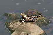 Caspian turtle or Striped-neck terrapin (Mauremys caspica). Israel