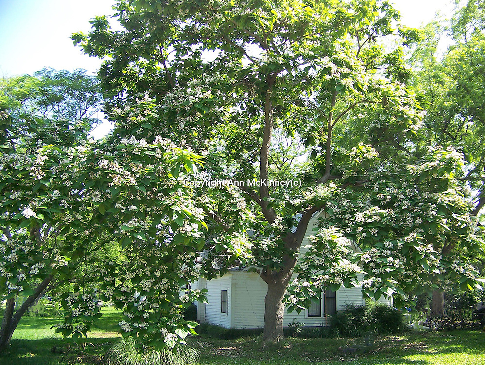Texas Catalpa Tree in May