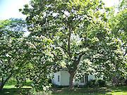 Texas Catalpa Tree in May