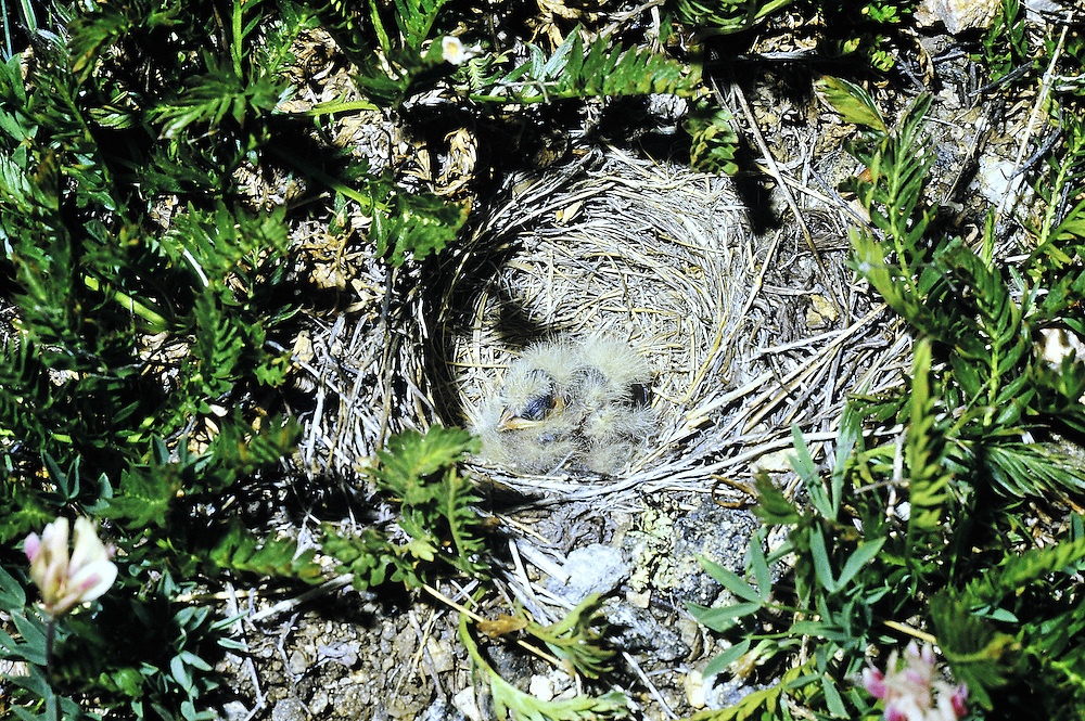 Three newly hatched chicks in ground nest established by this bird which nests on the ground in a treeless habitat. Alpine tundra, Colorado