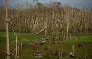 CAGUAS, PUERTO RICO - OCTOBER 10, 2017 -  Cows pasture along road PR-763 in Caguas, Puerto Rico, where the center of Hurricane Maria cause some of the most extensive damage .(Photo/Jos&eacute; Jim&eacute;nez) Through the Iris of Hurricane Mar&iacute;a<br />