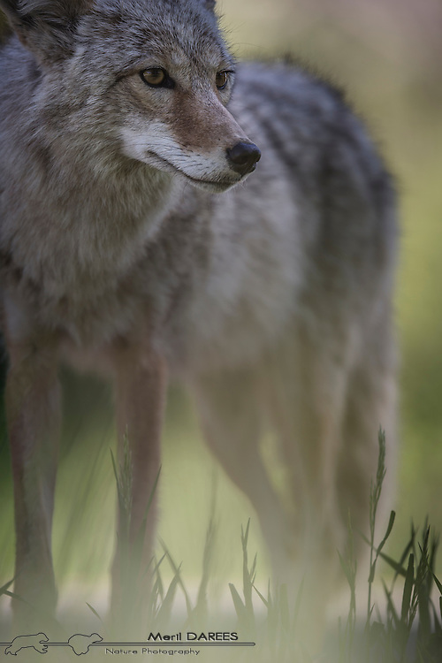 A coyote in the grass. Yellowstone National Park. USA.