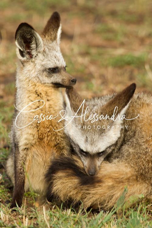It was my first time that I saw bat-eared foxes in Maasai Mara. They like to be out of their hide only early in the morning or late in the afternoon.