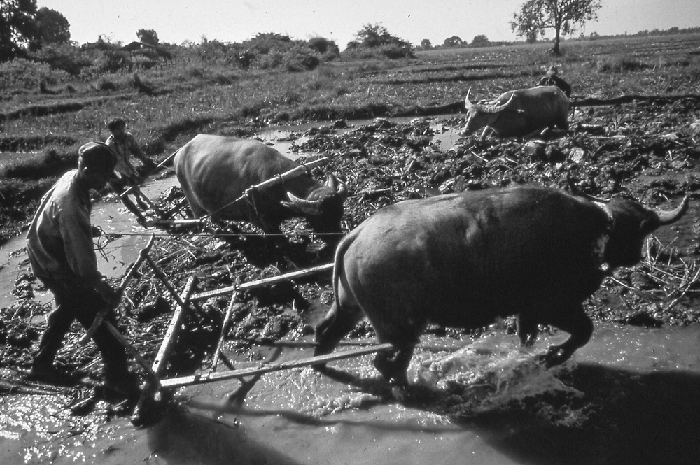Lao plow rice paddies with three oxen in rural Vientiane.