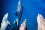 muchos amigos, a display of dolphins surfing a panga at the sea of cortez