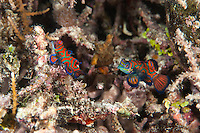 Mandarinfish Pair.Shot in West Papua Province, Indonesia