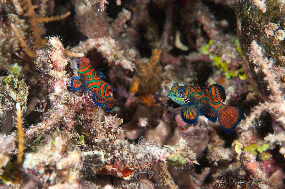 Mandarinfish Pair.Shot in West Papua Province, Indonesia
