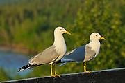 Ring-billed gull (Larus delawarensis)  on ledge st sunset<br /> Fort Smith<br /> Northwest Territories<br /> Canada