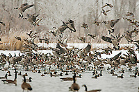 Canadian Geese land in the only open water on a farmer's stock pond.