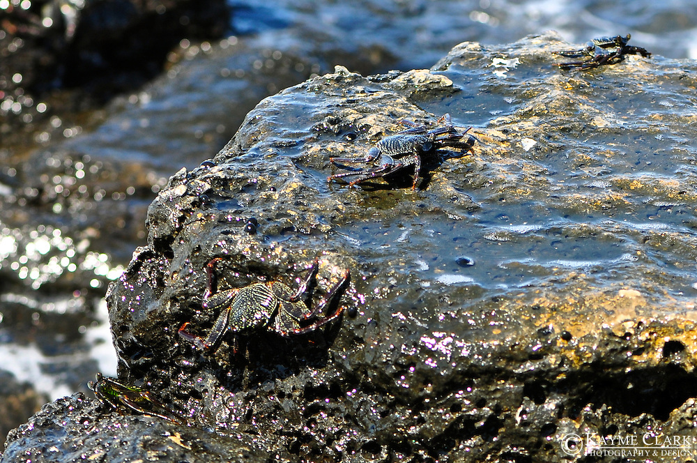 Flat Rock Crabs