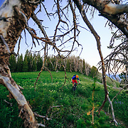 Andrew Whiteford rides the Black's Canyon singletrack through the dead trees at sunset off of Teton Pass.