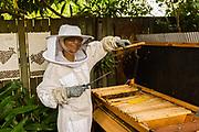 Woman beekeeper tending to a top-bar beehive, Brisbane, Queensland, Australia