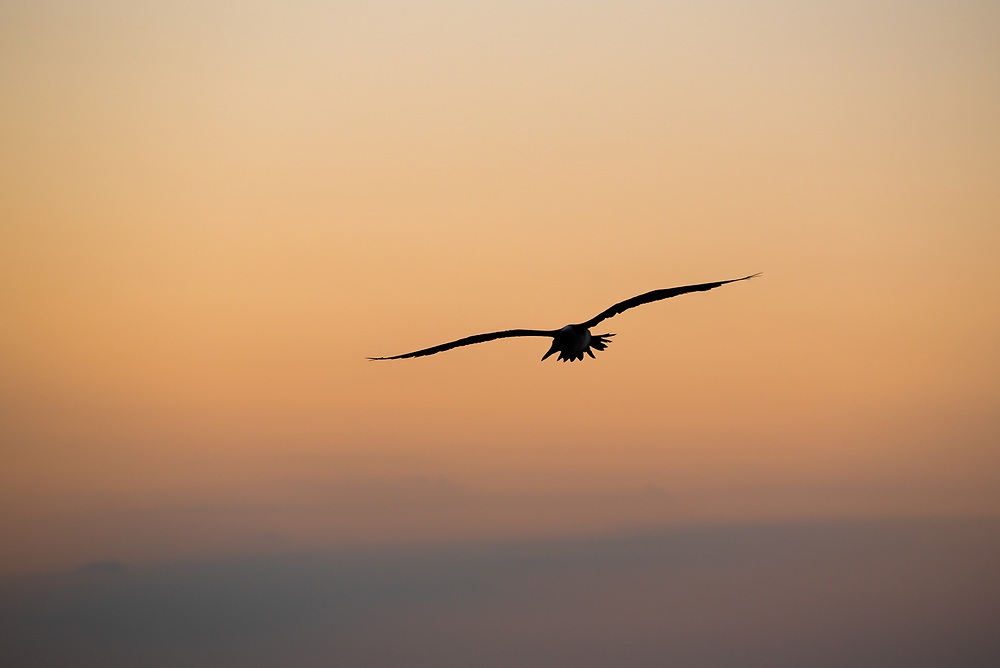 Bluu-footed booby flying at sunset, Galapagos Islands, Ecuador.