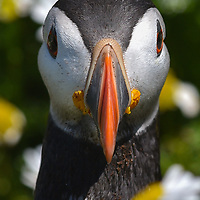 Frontal headshot of a puffin
