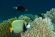 Emperor Angelfish, Pomacanthus imperator, (Bloch, 1787), Maldives