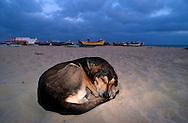 PRT, Portugal: Streuender Hund, Haushund (Canis lupus familiaris), schläft am Strand, Armacao de Pera, Algarve | PRT, Portugal: Stray dog, domestic dog (Canis lupus familiaris), sleeping at the beach, Armacao de Pera, Algarve |