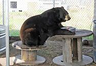 Elmira the bear enjoying breakfast.  Elmira is the namesake of Elmira's Wildlife Sanctuary in Wimauma, Florida.