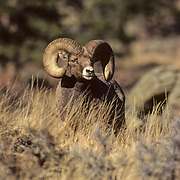 17-108. A bighorn sheep ram during the rut in the Rocky Mountains of Colorado.