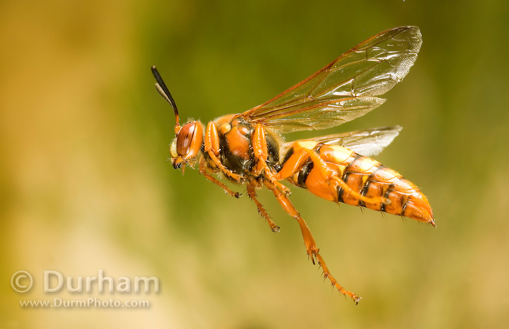 A female cicada killer wasp (Sphecius grandis) in flight. These solitary wasps paralyze cicadias with their sting which are then used as food to rear their young.