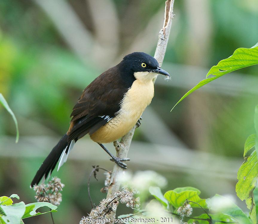 Black-capped Donacobius. (Donacobius atricapilla), Courtenay, Matto Grosso, Brazil, Isobel Springett