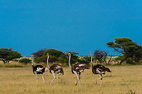 Ostriches walking, Nxai Pan National Park, Botswana.
