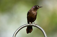 Common Grackle (Quiscalus quiscula), on bird feeder in garden, Wellington, Florida, USA