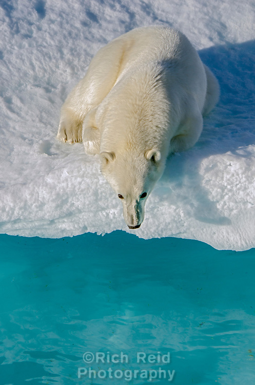 Polar bear cub on the sea ice in Prince Regent Inlet off Somerset Island in Nunavut, Canada.