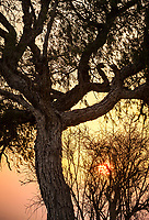 A sunrise through a tree  in the Thar Desert of Rajasthan, India