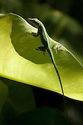 Green Gecko lizard on a leaf in Honolulu, HI