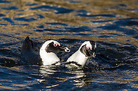 African Penguins fighting in the water, Bird Island, Algoa Bay, Eastern Cape, South Africa
