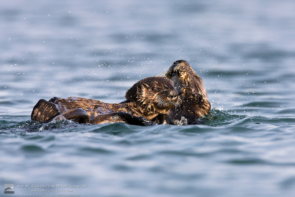 California Sea Otter pup (Enhydra lutris) with mother who is shaking her head