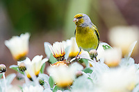 Male Cape Canary perched on white daisy flowers, Kirstenbosch Botanical Gardens, Cape Town, Western Cape, South Africa