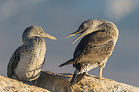 Juvenile Cape Gannets resting on a large granite boulder, Malgas Island, West Coast National Park, Western Cape, South Africa
