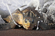 When a female Olive Ridley Turtle comes ashore to lay her eggs, she is unceremoniously dumped onto the beach by the force of the wave that carries her in. She must then drag herself up the beach to dig a nest for the hundred or so billiard ball-sized eggs she has inside her. I photographed this female from the top of the beach with a telephoto lens so as not to disturb her with my presence.<br />