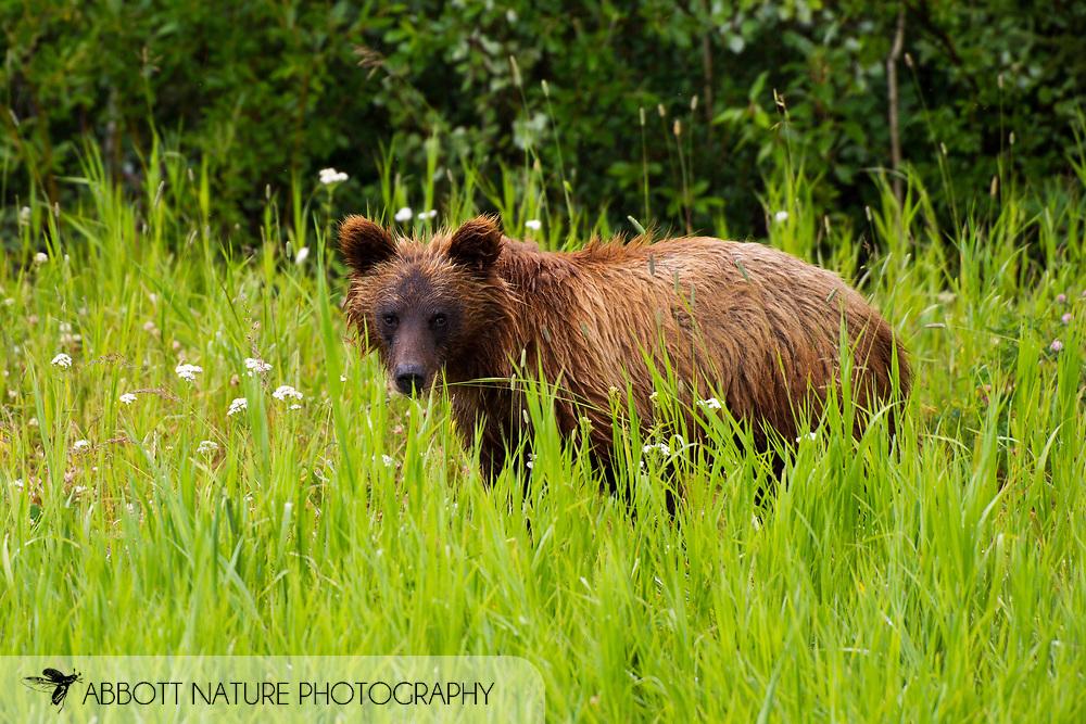 Grizzly Bear (Ursus arctos horribilis) - cub<br /> CANADA: British Columbia (Stikine Region)<br /> along Alaska Highway<br /> 18-July-2012<br /> J.C. Abbott &amp; K.K. Abbott