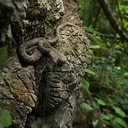 Kanburi Pit Viper (Trimeresurus kanburiensis) female in Kanchanaburi, Thailand