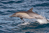 Common dolphin in the Gulf of California in Baja California, Mexico.