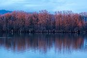 Sunset light on a grove of cottonwood trees along the lower Frasier River in British Columbia, Canada.