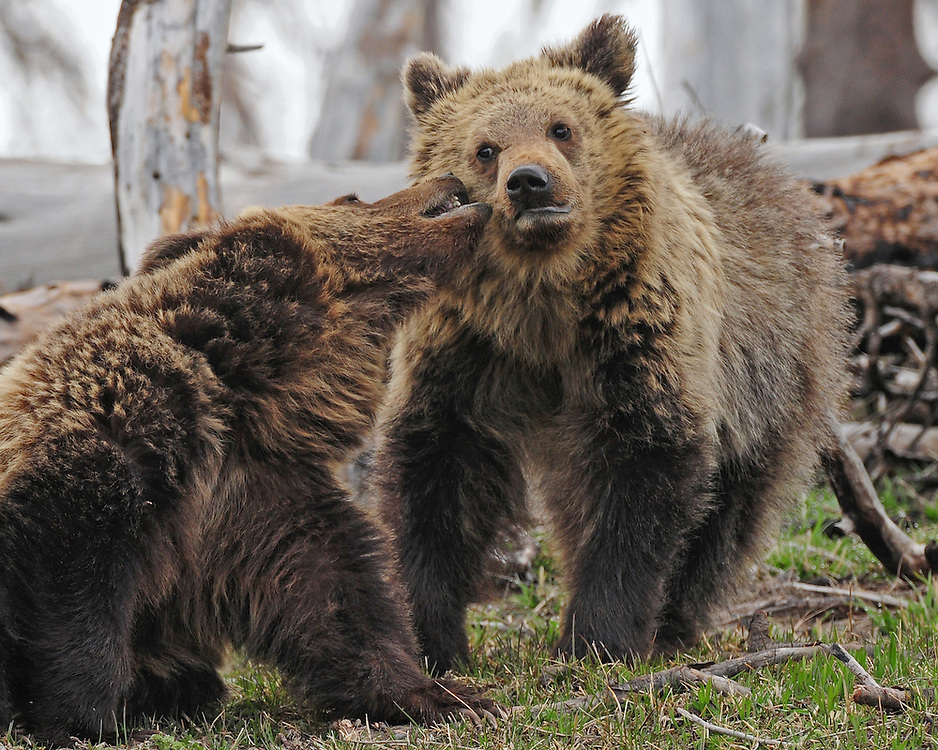 Playtime continues for these two yearling grizzly cubs.